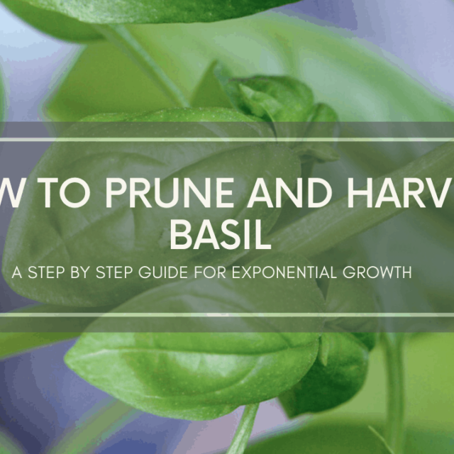 video how to prune and harvest basil