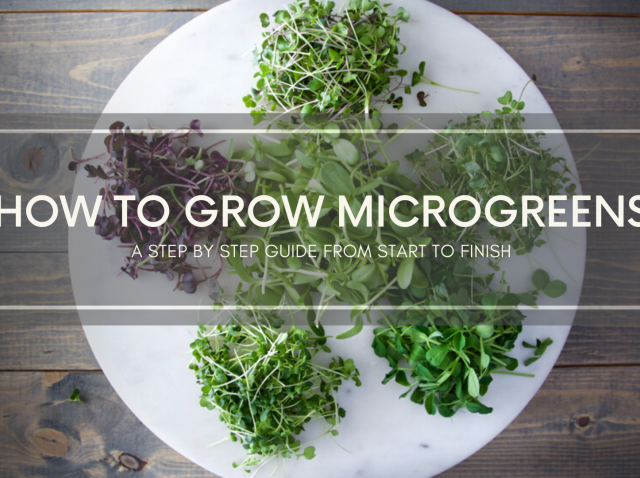 Microgreens on a white plate