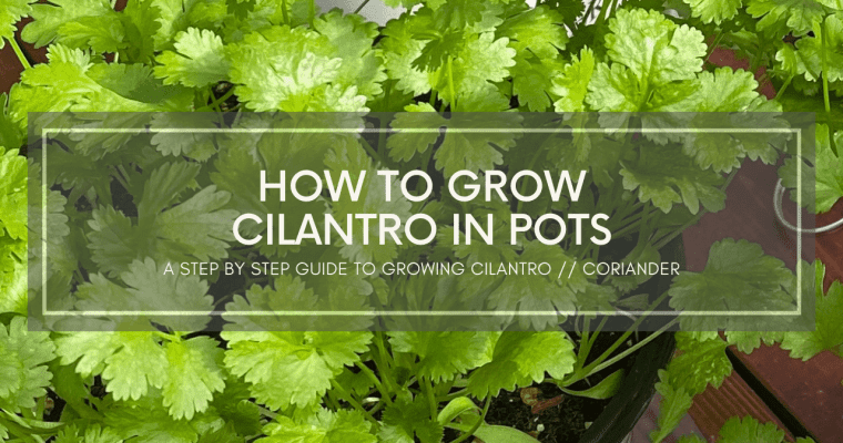 How To Grow Cilantro or Coriander in Pots