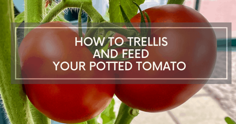 How To Trellis & Feed Your Home Grown Tomatoes